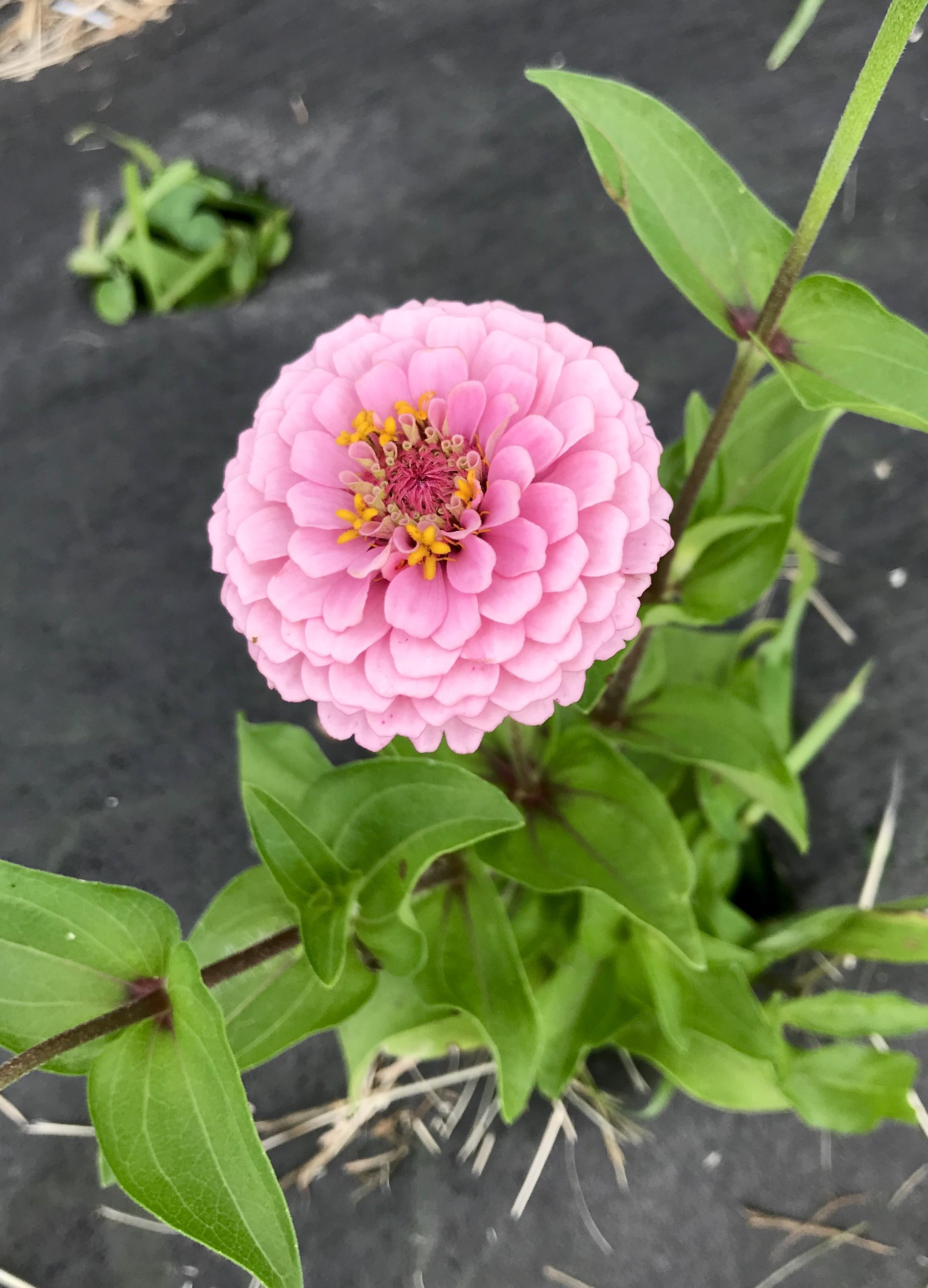 oklahoma pink zinnia
