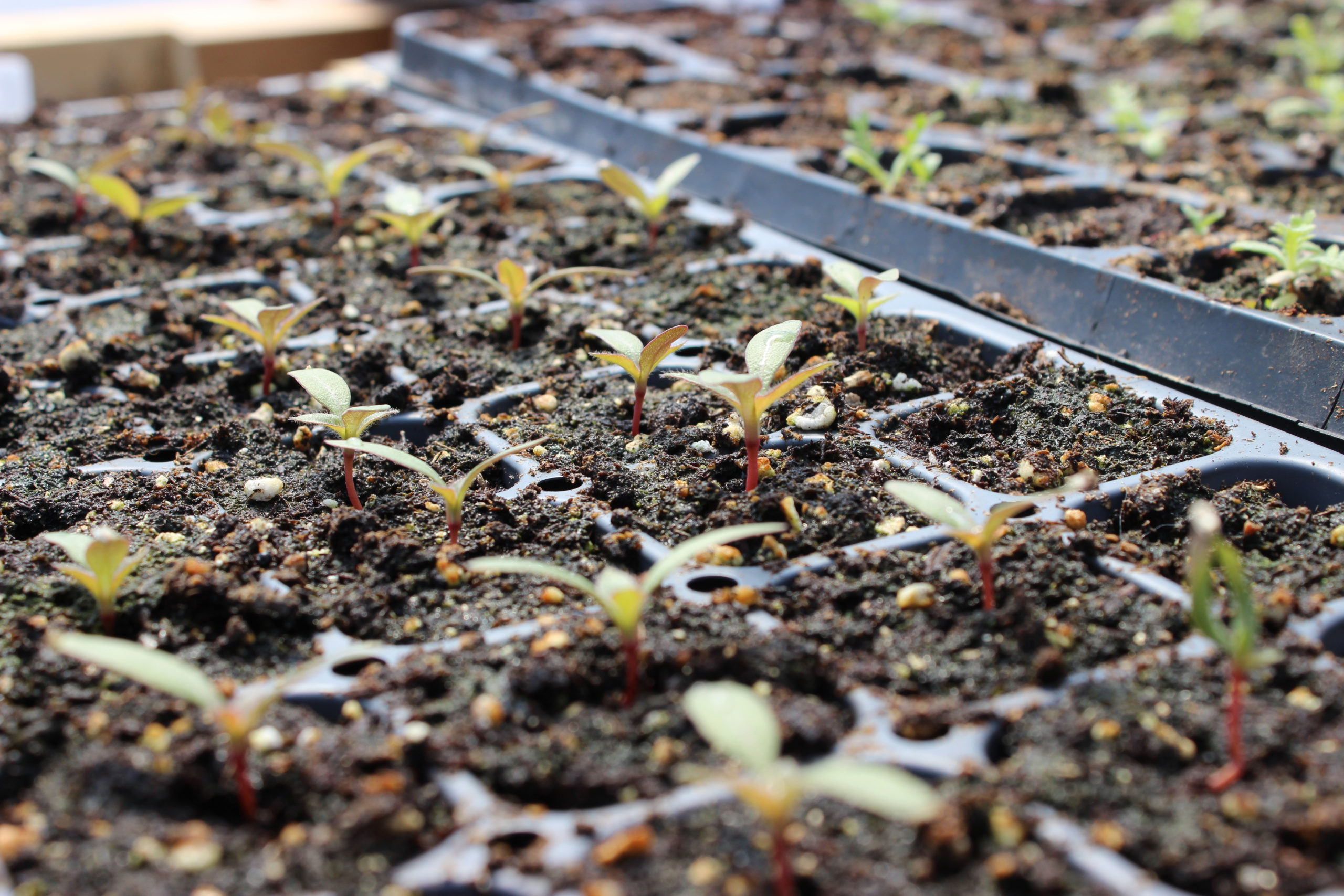 Gomphrena seedlings sprouting at evansville flower farm