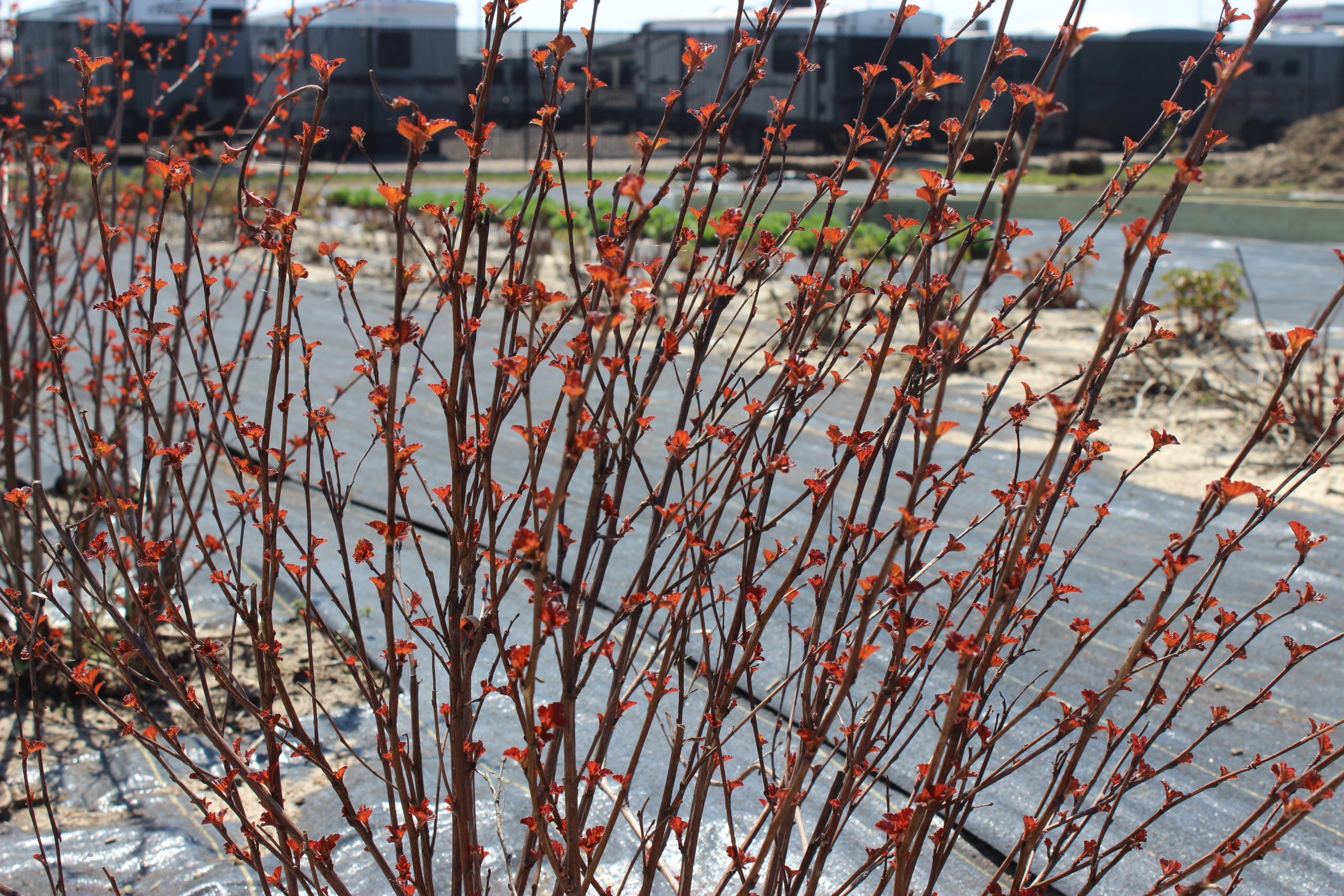 Ninebark shrub planted at Evansville flower farm at Farm 57.